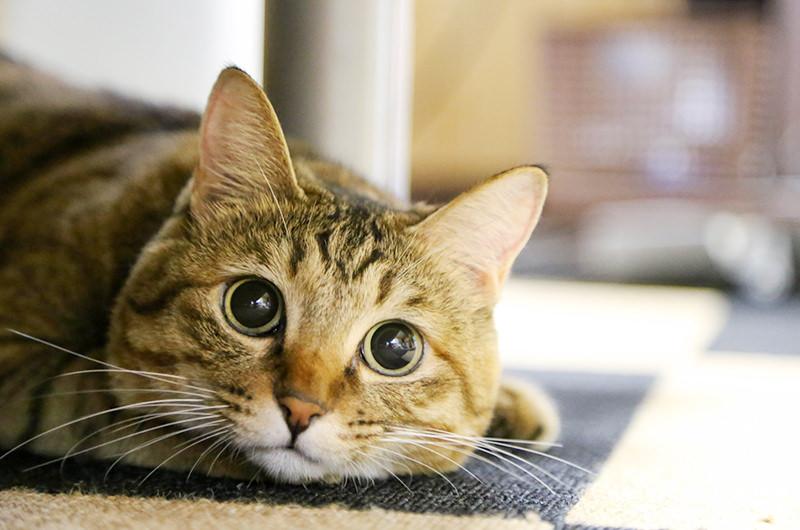 ネコちゃんも歯周病予防が大事